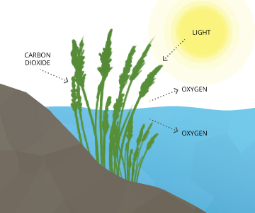 dissolved_oxygen_photosynthesis