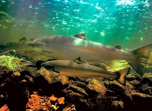 Coho_Salmon_prefer _cooler_rivers _and_streams
