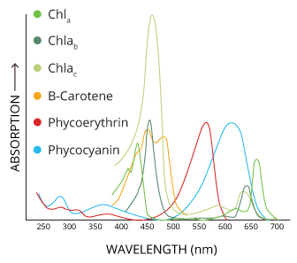 Each pigment absorbs and reflects different wavelengths, but they all act as accessory pigments to chlorophyll A in photosynthesis.