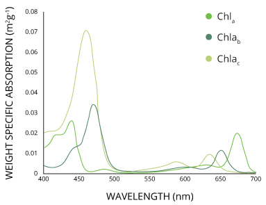 The different forms of chlorophyll absorb slightly different wavelengths for more efficient photosynthesis.