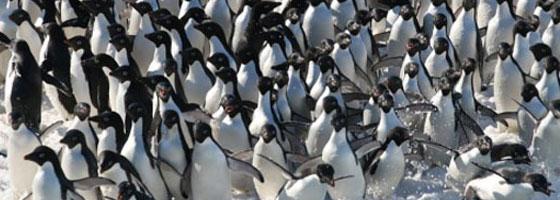 penguin adelie arctic