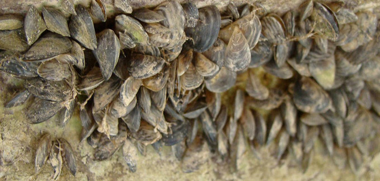 the zebra mussel essay
