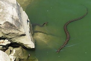 University Of Cincinatti >> Innovative Research Tracks Goby-Eating Snake - Environmental Monitor