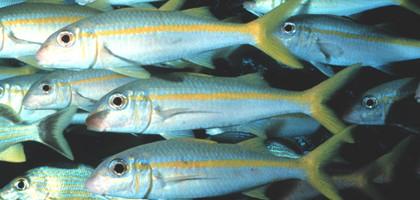 Florida Keys yellow goatfish