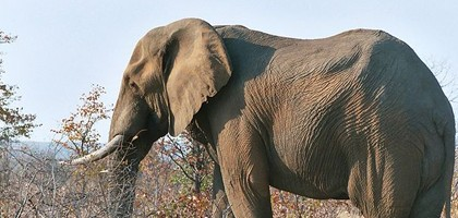 Elephant from Kruger Park, South Africa.