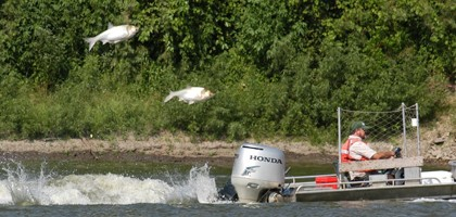 Silver carp (Credit: USGS)