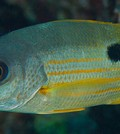 Ehrenberg's snapper (Credit: Simon Thorrold, Woods Hole Oceanographic Institution)