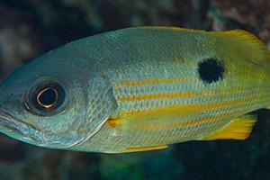 Ehrenberg's snapper (Credit: Simon Thorrold, Woods Hole Oceanographic Institution)