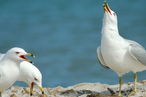 Ring-bill gulls (Credit: Jason Finch, via Wikimedia Commons)