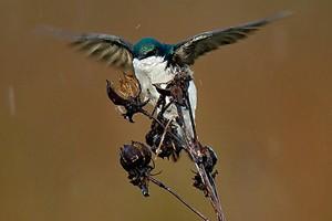 A tree swallow in Ohio (Credit: William H. Majoros, via Wikimedia Commons)