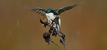 A tree swallow in Ohio (Credit: William H. Majoros, via Wikimedia Commons)