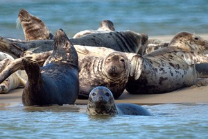 A group of gray seals on Cape Cod (Credit: Mike's Birds, via Flickr)