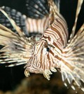 The highly predatory lionfish is among the species that could enter California waters through the aquarium trade. (Credit: Magnus Manske, via Wikimedia Commons)