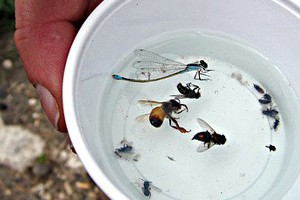 Image: Bees are attracted to a brightly colored pan trap filled with liquid (Credit: Derek Masaki)