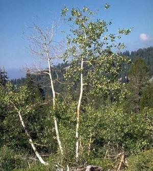 Trembling aspen tree (Credit: USDA)