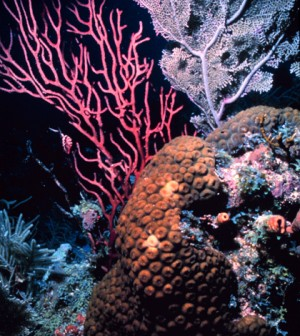 Coral bleaching on the rise (Credit: NOAA)