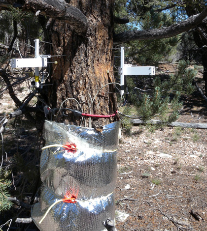 Top image: Point dendrometers measure the radial growth of a Nevada conifer (Credit: Scotty Strachan)