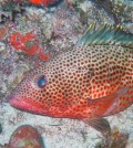 Female spawning Red Hind Grouper (Credit:University of Puerto Rico/NOAA)