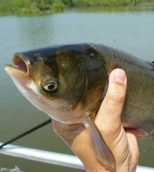 Silver Carp (Credit: D. O'Keefe, Michigan Sea Grant)