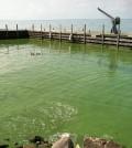 The 2011 algal bloom in Lake Erie from Kelley's Island. (Credit: T. Joyce/NOAA GLERL)