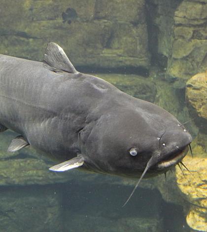 Blue catfish (Credit: Thomsonmg2000, via Wikimedia Commons)