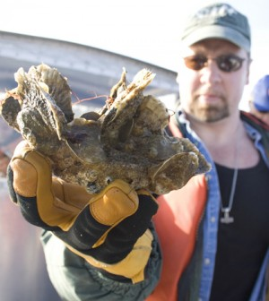 Norfolk District Oceanographer Dave Schulte displays a cluster of oysters which were growing on the district's sanctuary reefs in the Great Wicomico River. (Credit: US Army Corps of Engineers, via Wikimedia Commons)