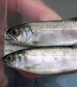 Coho salmon was one of six stocks rebuilt in 2012 (Credit: NOAA)