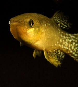 Gulf killifish (Credit: Andrew Whitehead/UC Davis)