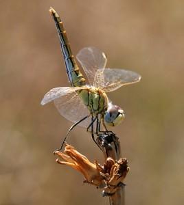 Juvenile Red-veined darter dragonfly (Credit: Alvesgaspar, via Wikimedia Commons)