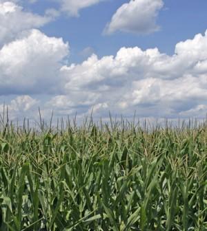 Ohio cornfield (Credit: Graylight, Wikimedia Commons)