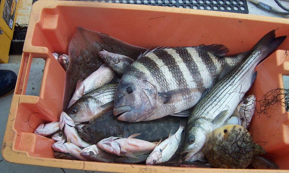 An example of the fish caught during a ChesMAPP trawl. Species here include a large sheepshead, striped bass, summer flounder, Atlantic croaker, northern puffer, clearnose skate and a kingfish. (Credit: ChesMAPP)