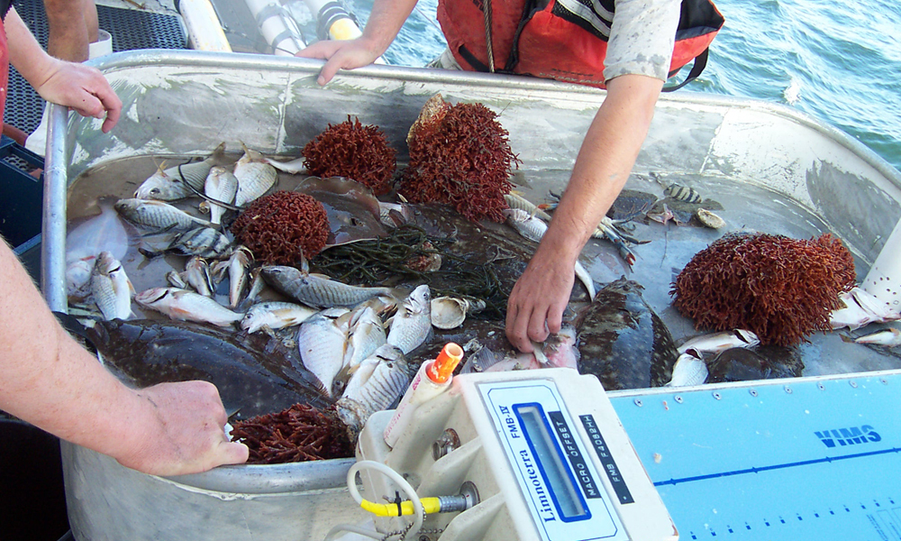 ChesMMAP staff sort and measure their catch before returning the fishes to the water. (Credit: ChesMMAP)