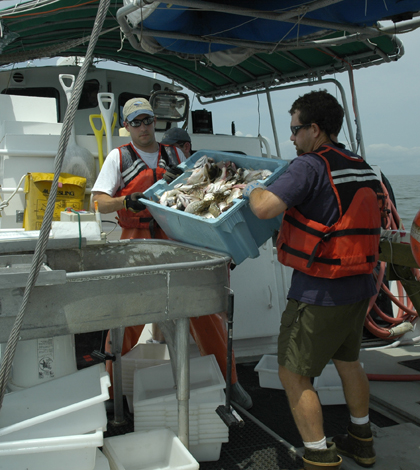 Andre Buchheister and Jason Romine prepare to sort the trawl-net catch during a ChesMMAP cruise on Chesapeake Bay. (Credit: ChesMMAP)