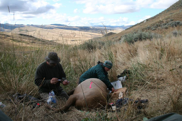 The researchers recaptured collard elk, analyzing nutrition and checking for pregnancy (Credit: Arthur Middleton)