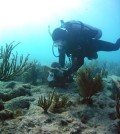 A SCUBA diver working on a clacification station at Fowey Rocks, Biscayne National Park, Florida (Credit: Carlie Williams/USGS)