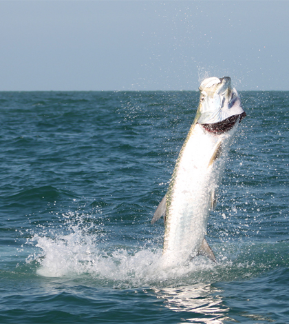 A hooked tarpon jumps from the water (Credit: Florida Fish and Wildlife, via Flickr)