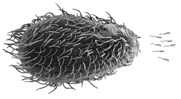 The protist Tetrahymena, shown in this photo illustration, is a predator of E. Coli bacteria. The Shiga toxin may provide some strains with extra defense. (Credit: University of Buffalo)