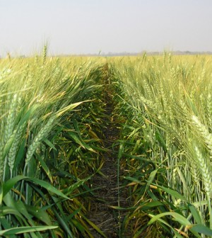 Image: Wheat field in Zambia (Credit: Wikimedia Commons)