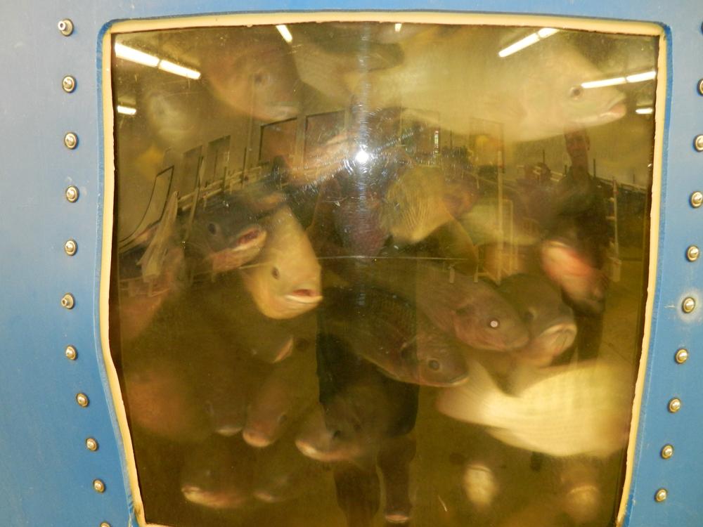 Tilapia school in tanks in the Alltech aquaculture facility (Credit: Austen Verrilli)