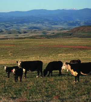 Cattle grazing shortgrass rangeland in northern Colorado (Credit: Jeff Vanuga/USDA NRCS, via Wikimedia Commons)