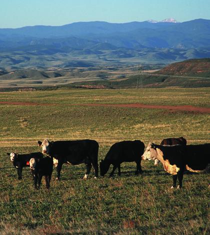 Cattle grazing shortgrass rangeland in northern Colorado (Credit: Jeff Vanuga/USDA NRCS, via Wikimedia Commons)
