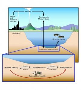 Diagram of conversion of mercury into methylmercury (Credit: ORNL)