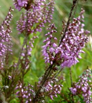 Moorland heather (Credit: Andrew Hiill, via Flickr)