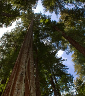 California redwood Sequoia sempervirens, Big Basin Redwoods State Park, California (Credit: Brian Gratwicke, Wikimedia Commons)