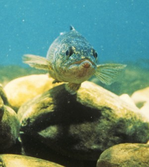 Walleye (Credit: Wisconsin Department of Natural Resources, via Flickr)