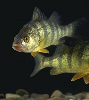 Yellow perch (Credit: USDA, via Wikimedia commons)