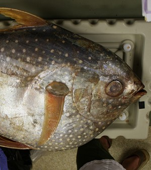 An opah, also called a moonfish. Opah first became popular as a sushi and sashimi in the late 1980s and early 1990s and are especially popular in Hawaii. (Credit: C. Anela Choy)