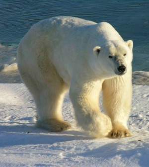 Polar bear in Canada's Wapusk National Park (Credit: Ansgar Walk, Wikimedia Commons)