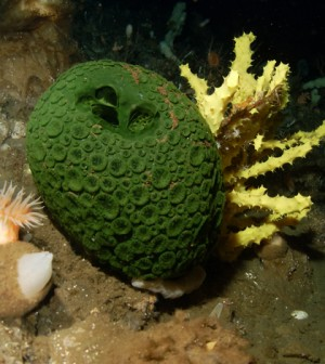 Image: Green and yellow sea sponges in Antarctic waters (Steve Rupp, National Science Foundation)
