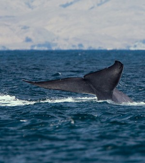 A blue whale surfacing (Credit: Michael L. Baird, via Wikimedia Commons)